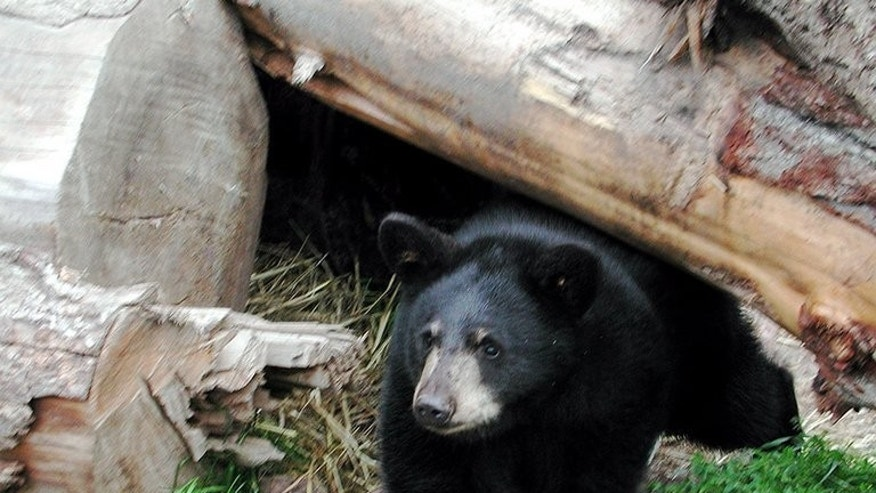 This US Fish & Wildlife Service handout photo from September 14, 2007 shows a black bear. Police released a video Thursday showing a speeding motorcyclist crashing into a bear on a Canadian highway, as a warning to distracted drivers -- and wildlife.