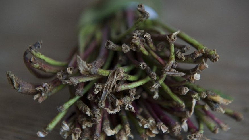 A bundle of khat, a flowering plant which contains an amphetamine-like property, pictured in London on February 28, 2013. Somalians living in Britain fear for their livelihoods and communities when the government bans the herbal stimulant.
