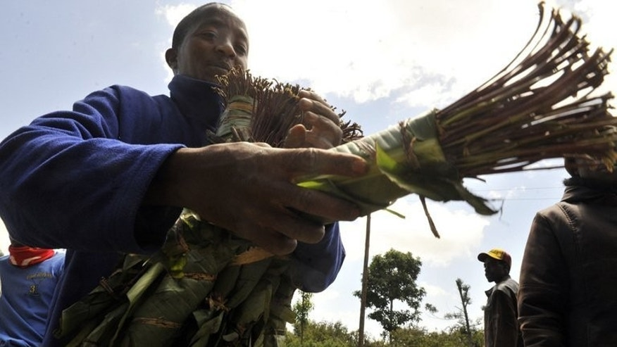 Khat traders are seen in Meru, Kenya, on January 24, 2011. Somalians living in Britain fear for their livelihoods and communities when the government bans the herbal stimulant.