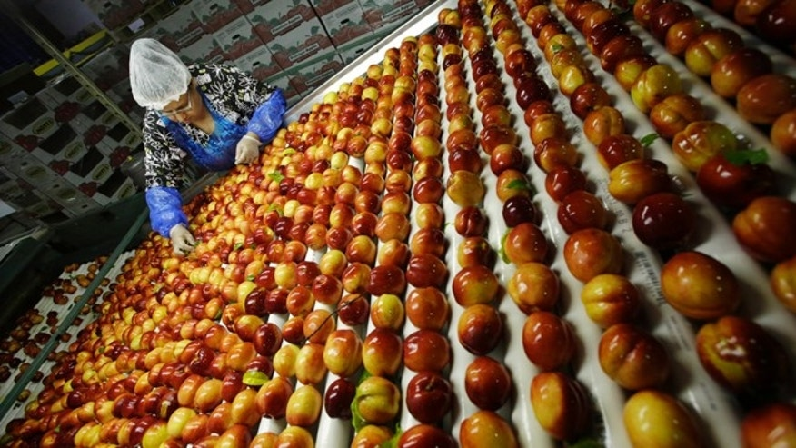 FILE - In this Tuesday, Aug. 27, 2013 file photo, a worker removes leaves as nectarines get sorted for packaging at Eastern ProPak Farmers Cooperative in Glassboro, N.J. The U.N. food agency said Wednesday, Sept. 11, 2013, that one-third of all food produced in the world gets wasted, amounting to a loss of $750 billion a year.  (AP Photo/Mel Evans, File)