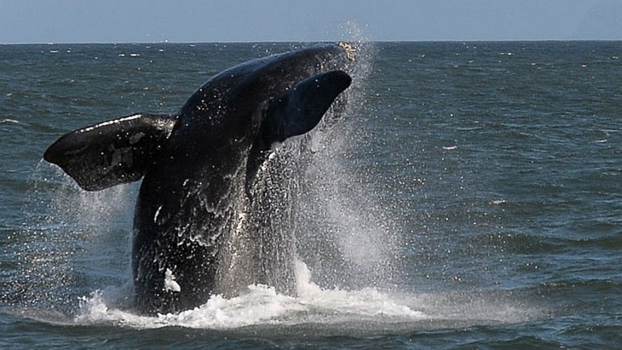 A Southern Right whale is seen near the town of Hermanus, at the southern coast of the Western Cape province of South Africa on September 5, 2013.