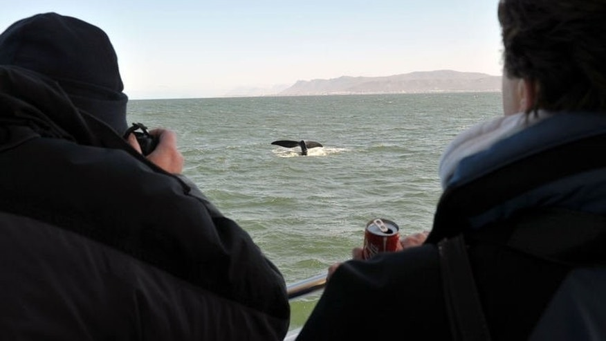 A group of whale watchers observe a Southern Right whale on September 5, 2013 near the town of Hermanus, at the southern coast of the Western Cape province of South Africa.