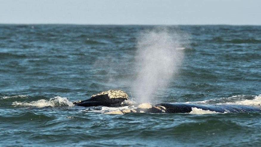 A Southern Right whale is seen on September 5, 2013 near the town of Hermanus, at the southern coast of the Western Cape province of South Africa.