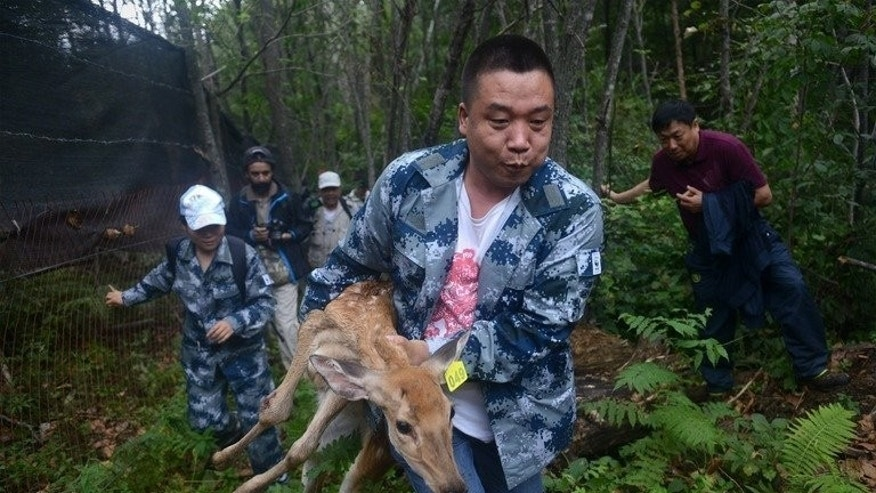 A World Wildlife Fund worker carries an injured sika deer, which will be served as food for Amur tigers, in the Jilin Wangqing National Nature Reserve in China on August 26, 2013.