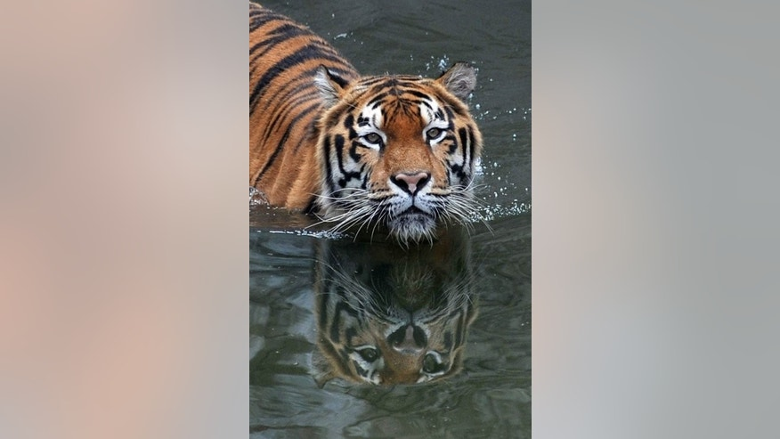 An Amur tiger bathes in a pool at the Kiev Zoo in the Ukrainian capital on September 17, 2010.