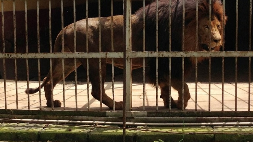 A lion roams in a cage at the Addis Ababa Zoo on September 16, 2013. A lion at the Addis Ababa zoo attacked and killed a zookeeper Monday after he forgot to close the door to the inner cage where the lion sleeps