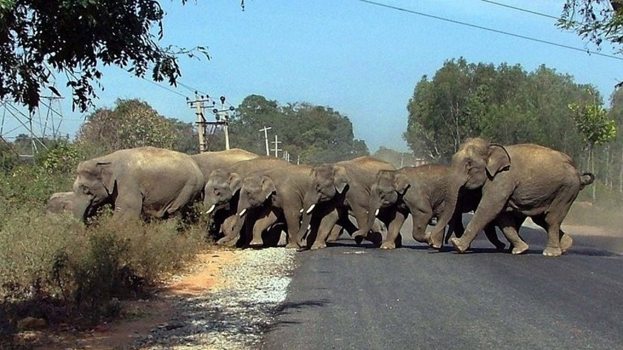 In this photograph dated June 6, 2007, wild elephants cross a road at Mantapa Village, some 60 kms from Bangalore.