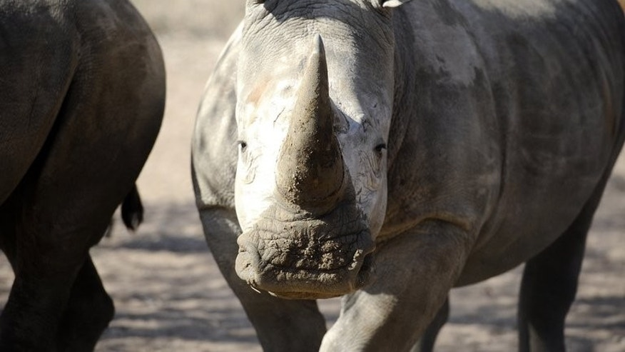 An adult white rhino looks on at the Entabeni Safari Conservancy, Limpopo, 300 kms north east of Johannesburg on July 31, 2012. Poachers have killed a record 688 rhinos in South Africa so far this year, more than the entire number slaughtered in 2012, according to figures issued Sunday, World Rhino Day.