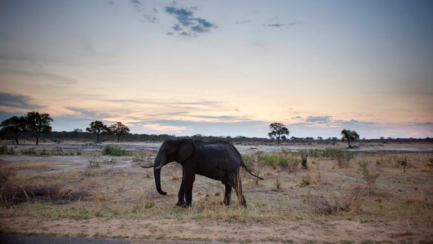 An African elephant is pictured on November 19, 2012, in Hwange National Park in Zimbabwe.