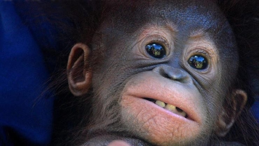 A rescued four-month-old orangutan is seen in Pangkalan Bun in Central Kalimantan province, Borneo island, Indonesia on June 14, 2010