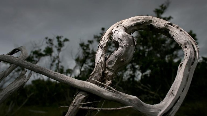 A dead buttonwood tree is seen amid mangroves in Big Pine Key, Florida, after the buttonwood succumbed to salt water incursion, on September 11, 2013