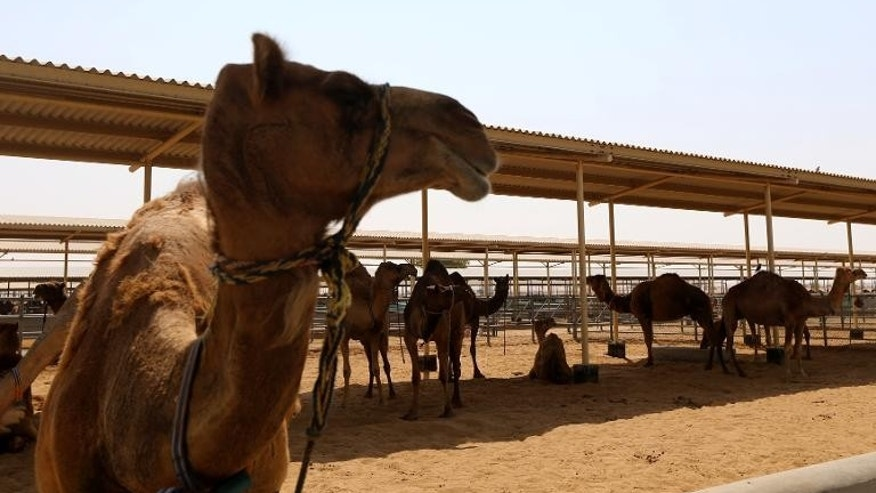 Camels are seen at a farm specialising in producing camel milk in Dubai on September 19, 2013