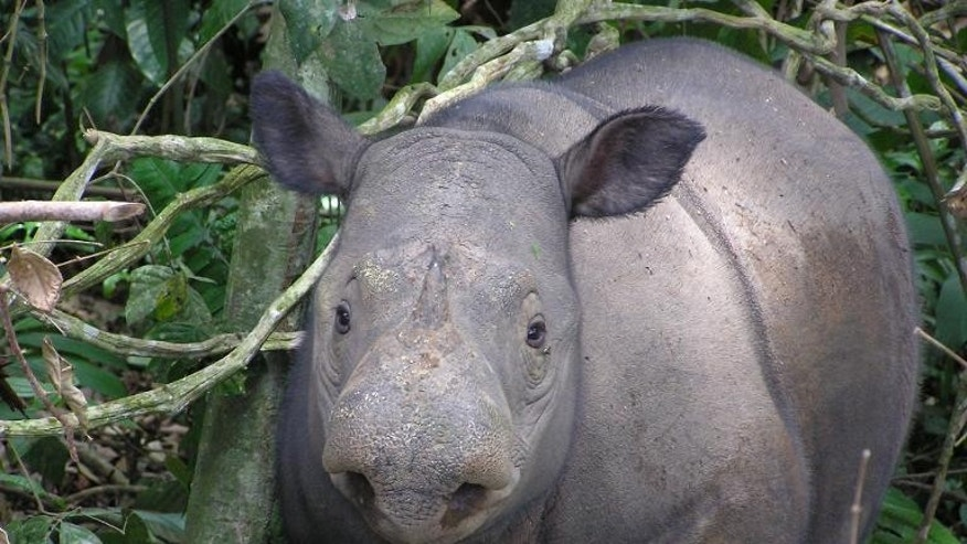 Undated photo received from World Wildlife Fund Indonesia on September 22, 2013 shows a critically endangered Sumatran rhino