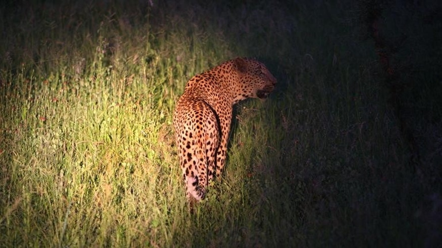 File picture shows a leopard caught in a spotlight during a game drive at Kruger National Park in South Africa on January 19, 2009