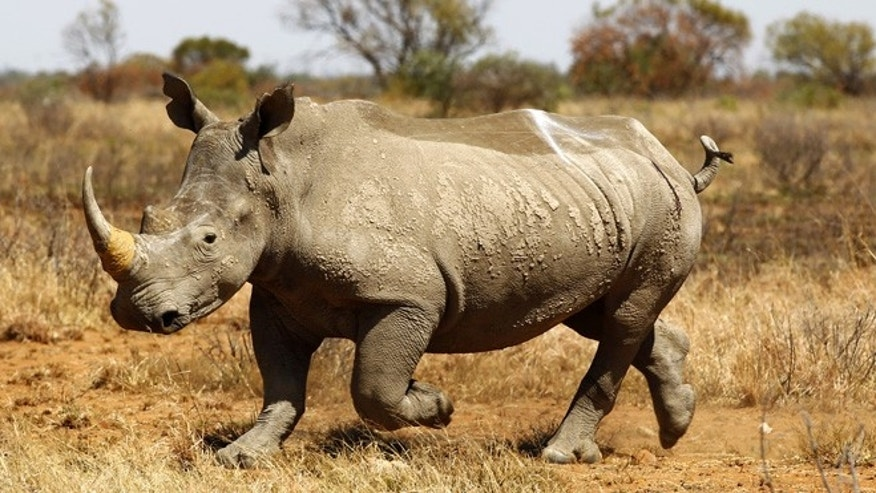 Nov. 12, 2010: An eight year old Rhino walks after being inserted with a GPS device to keep track of its movements and attempts at poaching, at the Mafikeng Game Reserve, in the North West province.  Poaching in South Africa has increased this year owing to booming demand and rising prices for rhino horn from increasingly rich Asian markets, where it is used as a medicine.