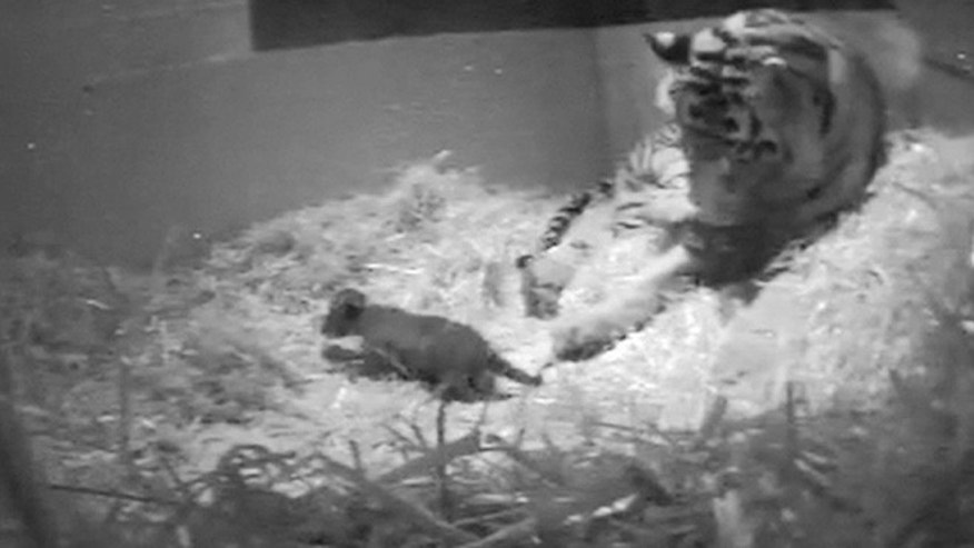 In this file image from video taken Sunday Sept 22, 2013 and made available by London Zoo of the first tiger cub for 17 years to be born at the zoo. A rare Sumatran tiger cub has died at the London Zoo three weeks after its birth was recorded by a hidden camera. Zoo officials said Tuesday, Oct. 15, 2013 that the cub drowned at the edge of a pool inside the tigers' enclosure.