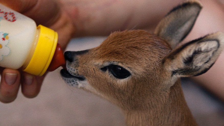In this photo taken Wednesday, Sept. 25, 2013 a baby steenbok, a type of antelope, is bottle-fed at the FreeMe Center for the rehabilitation of indigenous wildlife in the north of Johannesburg.  A small crocodile, a black-bellied starling and an orphaned water mongoose are among animals that have found refuge in a South African animal shelter that seeks to help indigenous species, many of which live in city suburbs. The rehabilitation center, FreeMe, is based in Johannesburg and helps some of the thousands of birds, animals and reptiles that become sick, vulnerable or suffer injuries in the suburbs and open areas outside the city. (AP Photo/Denis Farrell)