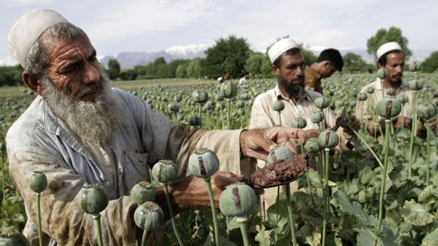 FILE - In this May 10, 2013 file photo, Afghan farmers collect raw opium as they work in a poppy field in Khogyani district of Jalalabad, east of Kabul, Afghanistan.