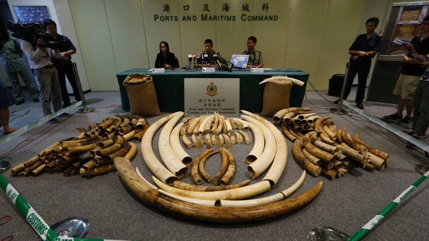 "In this Thursday, Oct. 3, 2013 photo, elephant tusks are displayed after being confiscated by Customs in Hong Kong. The latest shipment, 189 tusks worth $1.5 million hidden in soybean sacks in a shipping container, was one of four major busts this year. Ivory is known as ""white gold"" because of the rich prices it commands on the black market. Hong Kong has put values of between $1,000 and $2,000 a kilogram on ivory it seized this year.  (AP Photo/Kin Cheung)"