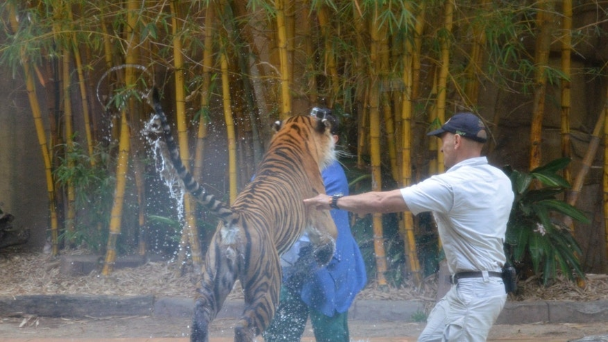 In this photo taken Tuesday, Nov. 26, 2013 and made available Thursday, Nov. 28, a Sumatran tiger leaps on Australia Zoo handler Dave Styles, left, as an unidentified man comes to Styles' aid in an enclosure at the zoo at Sunshine Coast, Australia. Styles who suffered puncture wounds to his head and shoulder was rescued by fellow workers at the zoo. He is recovering following surgery after being airlifted to a hospital. (AP Photo/Johanna Schehl)