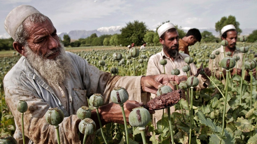 FILE - In this May 10, 2013 file photo, Afghan farmers collect raw opium as they work in a poppy field in Khogyani district of Jalalabad, east of Kabul, Afghanistan. Official efforts to stamp out opium production in Myanmar are falling flat because poor farmers don't have alternative ways to make a living, a U.N. agency said Wednesday, Dec. 18, 2013. The U.N. Office on Drugs and Crime estimated in its annual Southeast Asia Opium Survey that Myanmar will produce 870 metric tons of opium in 2013, remaining the world's second-largest grower after Afghanistan. That would be a 26 percent rise over 2012 production. (AP Photo/Rahmat Gul, File)
