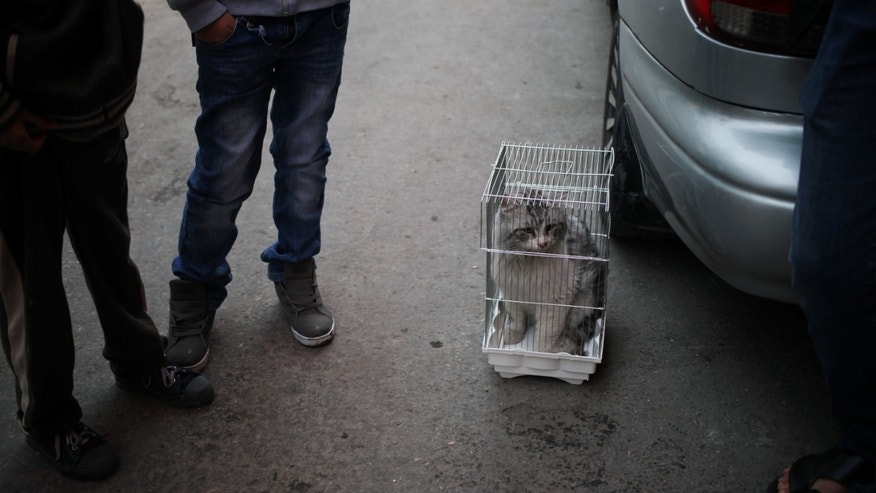 "In this Friday, Nov. 22, 2013 photo, men keep a stolen cat in a bird cage at the so-called ""thieves market"" in downtown Amman, Jordan. Dog breeding coupled with dognapping is a thriving business in Jordan, where lax laws call for only a $7 fine for violators and police remain hesitant to pursue those suspected of animal abuse. Activists have campaigned for years for increased penalties, but lawmakers seem uninterested to pursue it in a culture where animal abuse remains rampant. (AP Photo/Mohammad Hannon)"