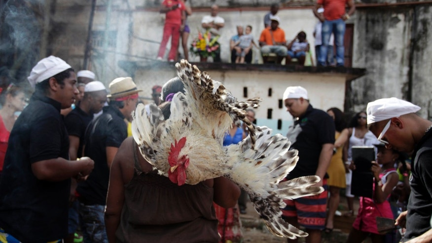 A woman delivers a rooster as an offering for Eshu-Elegbara, the deity associated with markets and commerce, and protector of the universe, during a Santeria ceremony at the Cuatro Caminos market, in Havana, Cuba, Monday, Dec. 30, 2013. Cuban followers of the faith gathered in the market to sing ceremonial drums, beat sacred drums and sacrifice animals to give thanks for the year's blessings and ask for prosperity in 2014.  Two goats and two roosters were slaughtered and their blood used to bathe the 2-foot-tall statue of Eshu-Elegbara. (AP Photo/Franklin Reyes)