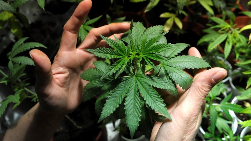 FILE - In this Nov. 14, 2012 file photo, a grower holds a marijuana plant, in Montevideo, Uruguay. Police in Uruguay have detained a man for growing too much marijuana after seizing 42 plants they found in his apartment. The case could become the first in which a judge determines what to do when people violate the six-plant home-growing limit. The judge could also decide how to deal with plants grown before the licensing system is launched next year. (AP Photo/Matilde Campodonico, File)
