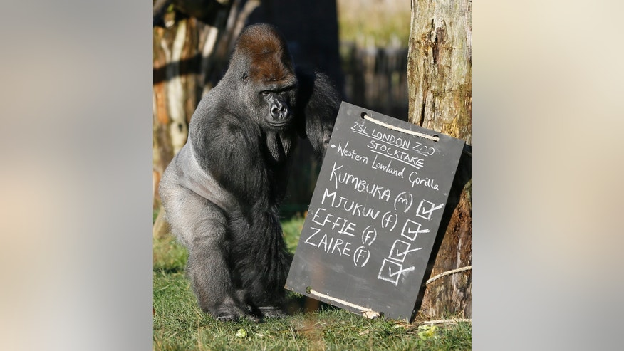 Kumbuka, a male silverback gorilla inspects the keeper's chalk board in his enclosure at London Zoo, Thursday, Jan. 2, 2014. Home to more than 850 different species, zoo keepers welcomed in the New Year armed with clipboards as they made a note of every single animal. The compulsory annual count is required as part of ZSL London Zoo's zoo license, and every creature, from the tiny leaf cutter ants to the huge silverback gorilla is duly noted and accounted for. (AP Photo/Kirsty Wigglesworth)