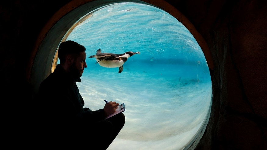 A penguin swims past as a keeper counts the birds during a stock take at London Zoo, Thursday, Jan. 2, 2014. Home to more than 850 different species, zoo keepers welcomed in the New Year armed with clipboards as they made a note of every single animal. The compulsory annual count is required as part of ZSL London Zoo's zoo license, and every creature, from the tiny leaf cutter ants to the huge silverback gorillas is duly noted and accounted for. (AP Photo/Kirsty Wigglesworth)