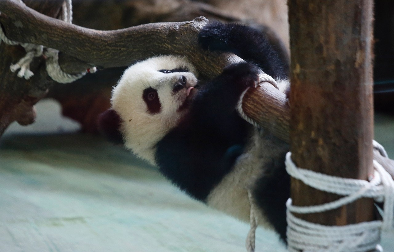 6 month old Taiwan panda introduced to adoring public