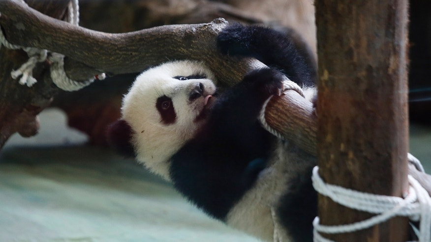 Jan. 6, 2014 - Taiwan's six month-old panda cub Yuan Zai hangs precariously from logs as she is viewed by the public for the first time at the Taipei Zoo in Taipei, Taiwan. The panda cub, whose parents were gifts from China to Taiwan in 2008, was unveiled to her adoring public as hundreds of visitors lined up at the zoo.