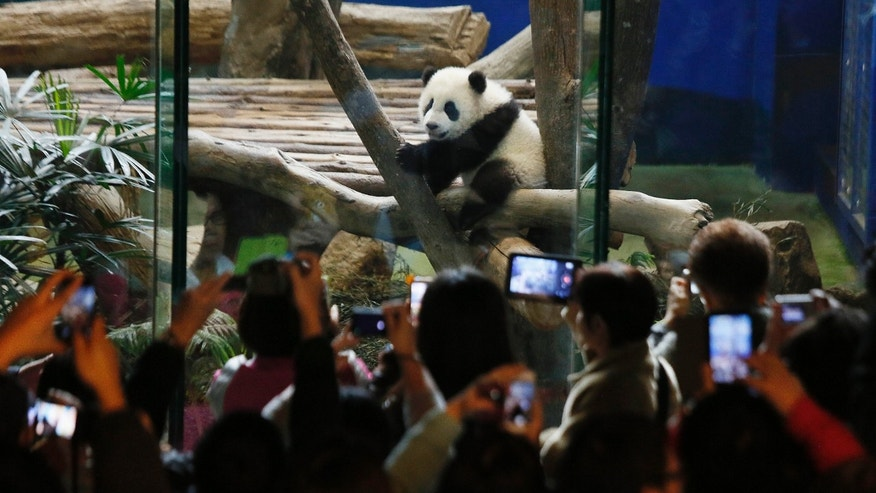 Jan. 6, 2014 - Crowds of visitors eagerly try to capture images of Taiwan's six-month-old panda cub Yuan Zai during her first public viewing at the Taipei Zoo.