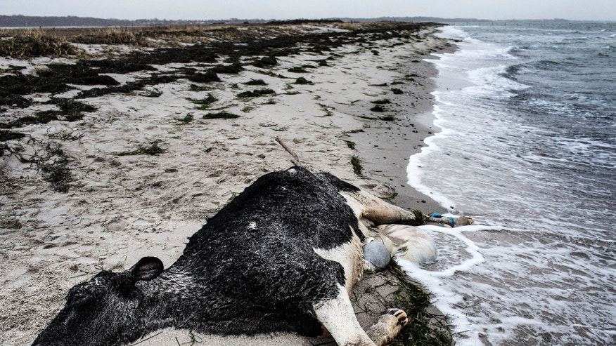 A carcass of a Holstein Dairy Cow lies, Wednesday, Jan 8. 2014, on the beach between Bisserup and Skaelskoer on the South Western part of the Island of Zealand in Denmark. Scandinavian police are puzzled by at least 11 dead cows that have washed ashore in Sweden and Denmark's southern coasts with no identification tags. (AP Photo/Polfoto/Niels Hougaard) DENMARK OUT