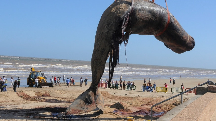The carcass of a sperm whale that washed ashore on Carrasco beach is lifted with a crane, in Montevideo, Uruguay, Monday, Jan. 13, 2014. Dozens of Navy officials and rescuers used excavators to remove the marine mammal weighing up to 25 tons, to be buried in a nearby landfill. The 16-meter (52.5-foot) whale was found Saturday. (AP Photo/El Pais) URUGUAY OUT - NO USAR EN URUGUAY