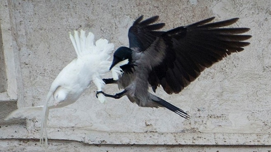 Jan. 26, 2014: A dove which was freed by children with Pope Francis during his Angelus prayer, is attacked by a black crow in St. Peter's Square, at the Vatican.