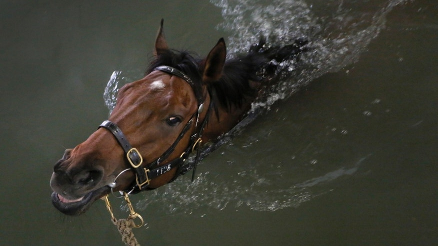 In this Wednesday, Jan. 29, 2014 photo, a horse swims as part of a routine exercise in a barn at Hong Kong's Jockey Club. Chinese communities around the world were welcoming the arrival of the year of the horse on Friday, Jan. 31 with equine-themed decorations and celebrations. The annual Lunar New Year holiday is mark with particular verve in Hong Kong, the semi-autonomous Chinese financial center that expects 7.93 million visitors, more than territory's permanent population of 7.1 million. The year is considered especially significant for Hong Kong's vibrant horse racing scene which boasts two world-class tracks and legions of enthusiastic fans. (AP Photo/Vincent Yu)