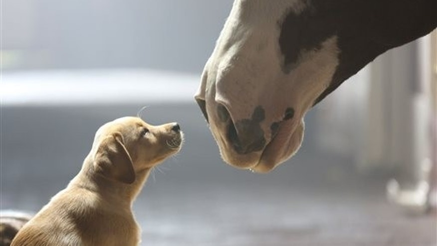 This undated frame grab provided by Anheuser-Busch shows the company's 2014 Super Bowl commercial entitledPuppy Love. The ad will run in the fourth quarter of the game. (AP Photo/Anheuser-Busch)