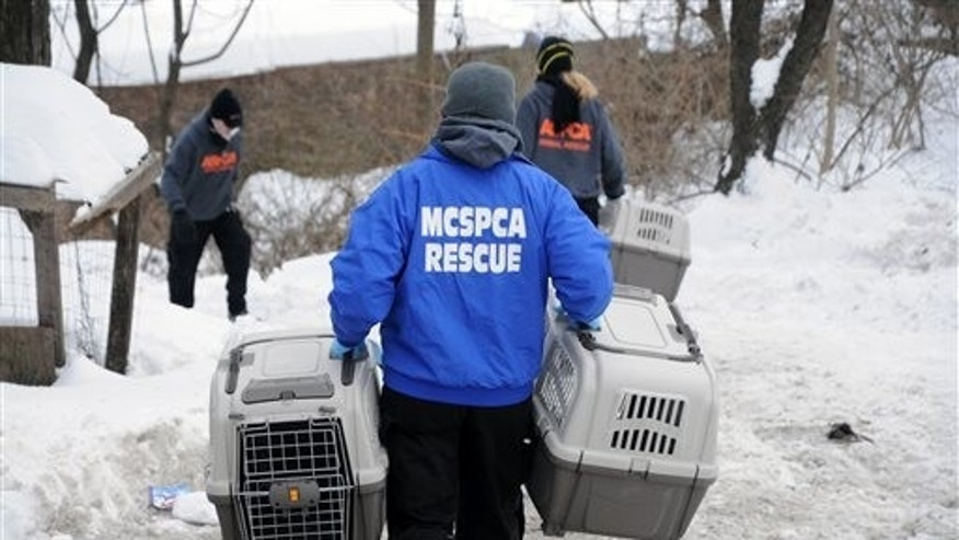 "This photo provided by the ASPCA shows ""Operation Angry Birds"" in Ulster County, N.Y., Sunday, Feb. 9, 2014. More than 3,000 birds were rescued in the three-county cockfighting takedown that began Saturday and ended Sunday in New York and resulted in nine felony arrests, according to the state Attorney General's Office. (AP Photo/ASPCA)"