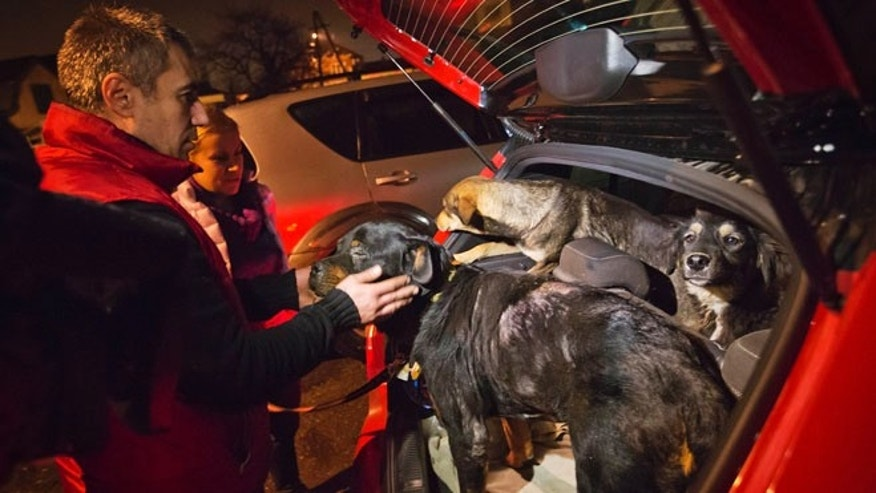 Feb. 11, 2014: Stray dogs brought out of Sochi by activist Yulia Krasova, second from left, wait to be transferred to the car of fellow activist Igor Airapetian, left, at a rendezvous point 75 miles away from the Olympic area in the early morning hours in Tuapse, Russia.