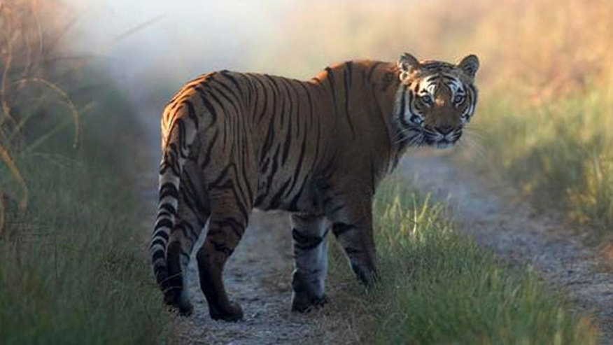 This undated file photo released by Corbett Tiger Reserve, shows a tiger at the reserve in the northern Indian state of Uttarakhand. Forest officials said another tiger who strayed from the park killed its 10th human victim in six weeks on Sunday, Feb. 9, 2014.