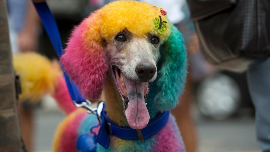 "A multicolored dog is seen during the ""Blocao"" dog carnival in Rio de Janeiro, Brazil, Sunday, Feb. 16, 2014.  About 100 dogs have had their day at a pre-Carnival bash in Rio de Janeiro. A 10-man brass band and a singer belting out Rio's anthem song ""Cidade Maravilhosa"" (Marvelous City) kicked off the four-footed fest as dog owners gathered to party down with pooches on Copacabana beach Sunday.  (AP Photo/Silvia Izquierdo)"