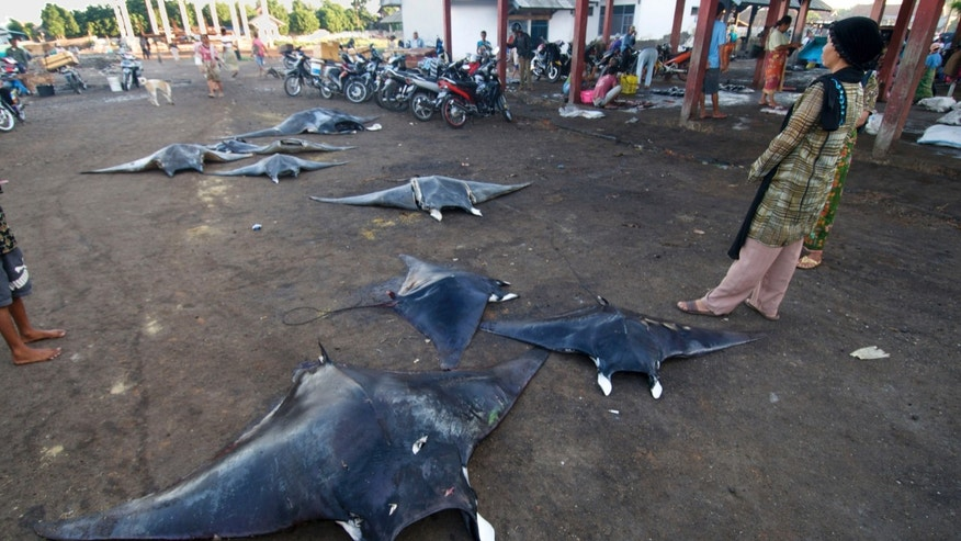 In this Feb. 20, 2014 photo released by WildAid and Conservation International, a villager stands by manta rays laid on the ground to dry near a market in Tanjung Luar, Indonesia. Indonesia is now the world's largest sanctuary for manta rays, after officials were persuaded by evidence that the gentle giants known for delighting tourists are worth more alive than dead. The government on Friday, Feb. 21, 2014 announced that manta rays within the archipelago's 5.8 million square kilometers (2.2 million square miles) of ocean will be protected from fishing and export. It will take time and cooperation at multiple levels to enforce the ban on poaching in the biggest global shark and ray fishery. (AP Photo/WildAid and Conservation International, Shawn Heinrichs)