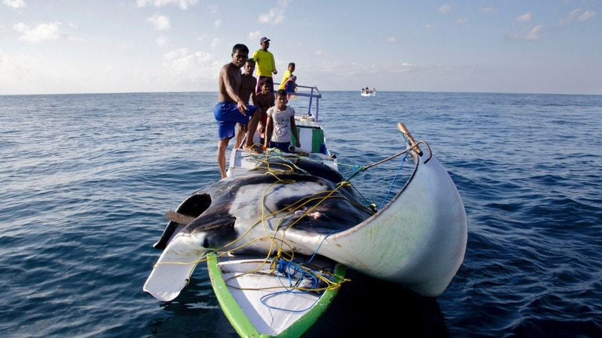 In this Feb, 20, 2014 photo released by WildAid and Conservation International, Indonesian manta hunters stand on their boat carrying a speared manta ray in the water off  Solor island, Indonesia. Indonesia is now the world's largest sanctuary for manta rays, after officials were persuaded by evidence that the gentle giants known for delighting tourists are worth more alive than dead. The government on Friday, Feb. 21, 2014 announced that manta rays within the archipelago's 5.8 million square kilometers (2.2 million square miles) of ocean will be protected from fishing and export. It will take time and cooperation at multiple levels to enforce the ban on poaching in the biggest global shark and ray fishery. (AP Photo/WildAid and Conservation International, Shawn Heinrichs)