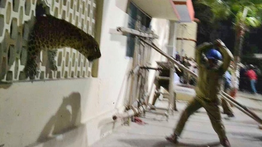 Feb. 23, 2014: In this photo taken with a cellphone camera, an Indian policeman tries to charge a leopard with a stick that was spotted at a hospital in Meerut, India. Police said forestry officials and police armed with tranquilizer darts fanned out in search of the leopard that has been spotted in the northern India city, creating panic and driving people indoors.