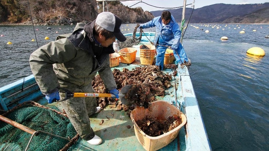 In this Friday, March 7, 2014 photo, Hiromitu Ito, 53, left, shovels oysters as Yuki Miura, 23, works on a rope after harvesting oysters from one of their oyster farms three years after the March 11 earthquake and tsunami, in Ogatsu town, Miyagi prefecture, northeastern Japan. In the Miyagi port of Ogatsu, oyster farmer Ito lost his home, his fishing boats, and his oyster beds, following the tsunami, just after he had taken out a loan to begin oyster processing. Ito and his business partners used funds from the membership fees to help fishermen get back up and running. They are also training newcomers like Miura, a fisherman apprentice, hoping to keep the industry alive. (AP Photo/Koji Ueda)