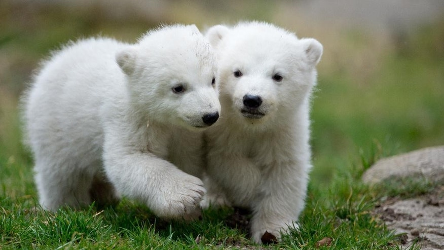 Two 14-week old polar bear twins explore their enclosure at the Hellabrunn zoo in Munich, Germany, Wednesday, March 19, 2014. The cubs who were born on Dec. 9, 2013 were presented to the public for the first time. (AP Photo/dpa, Sven Hoppe)