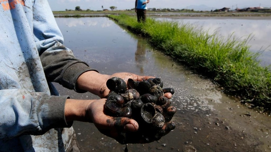 In this Feb. 10, 2014 photo, a farmer shows a cluster of dead snails prior to being prepared for planting at a rice field in Calamba city, Laguna province about 70 kilometers (44 miles) south of Manila, Philippines. The aftermath of Typhoon Haiyan in the Philippines has added urgency to finding a solution to a longstanding problem: less than 10 percent of farmers have crop insurance, and while its advantages are widely understood, few can afford it. Crop insurance is the least of priorities when there is often not even enough money for food. (AP Photo/Bullit Marquez)