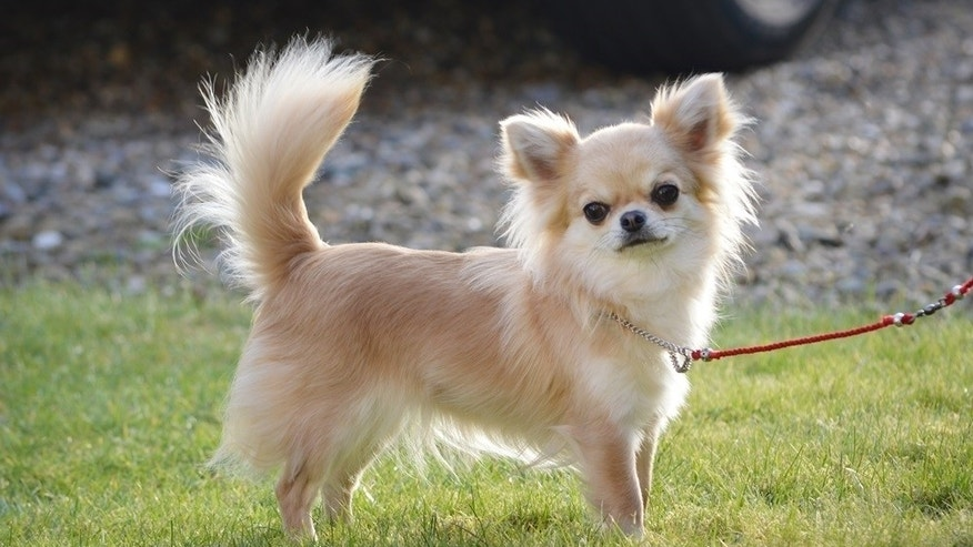 This undated family handout photo shows Valenchino Chihuahua Xena, who was named Best Puppy in Breed at Crufts 2014, and was snatched with four other dogs, including her mother Io and grandmother Angel, from a house in East Yorkshire on Thursday. British police are appealing for help finding five stolen dogs, including a Chihuahua puppy that recently won a major prize at the prestigious Crufts competition. The thieves apparently broke into a house in the village of Lissett in central England and made off with the valuable dogs. Humberside police said Sunday they are asking the public to provide any leads. (AP Photo)