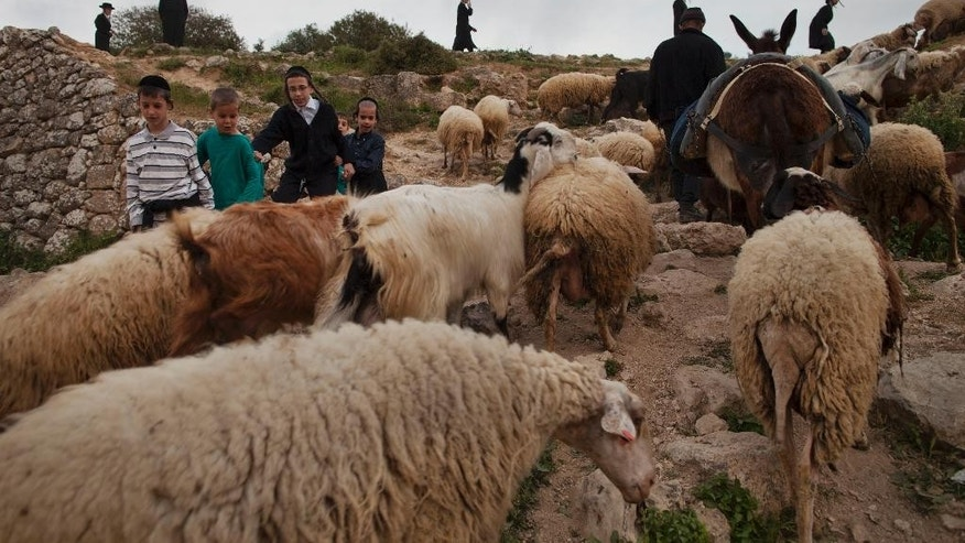 A Palestinian shepherd herds his flock while Ultra-Orthodox Jews collect water to make matza during the Maim Shelanoo ceremony at a mountain spring, near Jerusalem, Sunday, April 13, 2014. The water is used to prepare the traditional unleavened bread for the high holiday of Passover which begins Monday.(AP Photo/Dan Balilty)